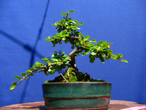 foto geral do Cotoneaster - horizontalis, mycrophylla