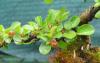 foto tronco ou da folha do Cotoneaster - horizontalis, mycrophylla
